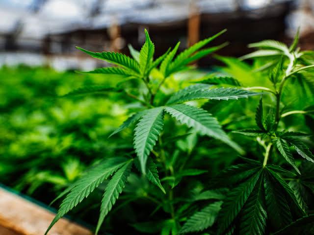 Is Marijuana(Cannabis) As Safe As We Assume?